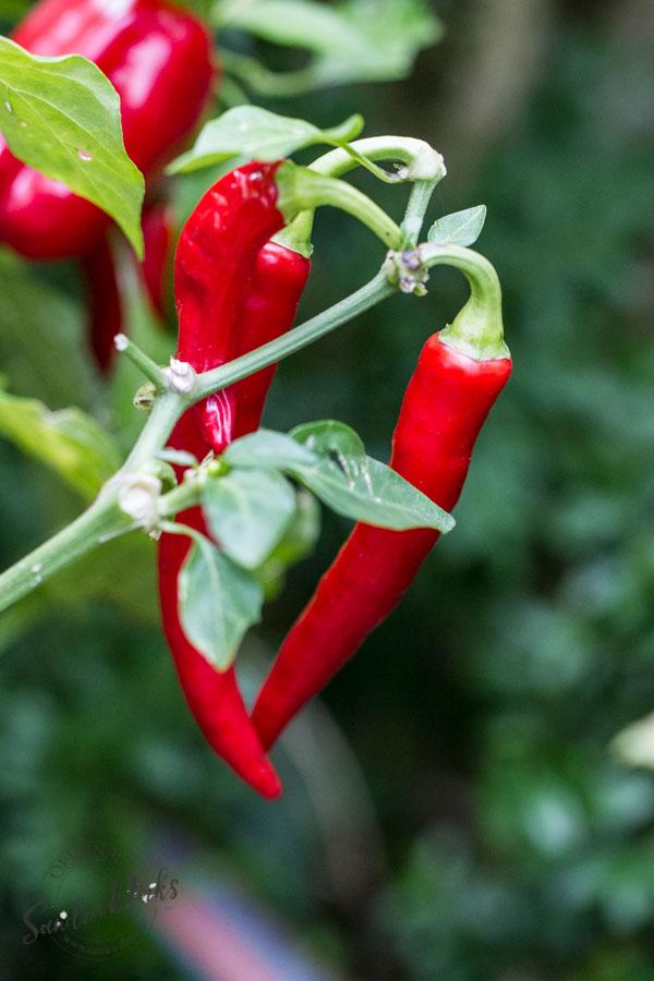 Sandra Dirks - Chili-Pflanze
